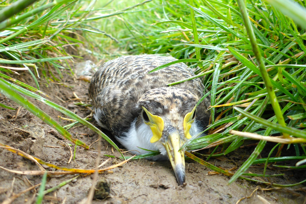 A young Lapwing hiding in the grass. There were 3 lying on a cattle track using their brown back as camo against the mud track. I just  hope the cattle don't stand on them like we almost did!