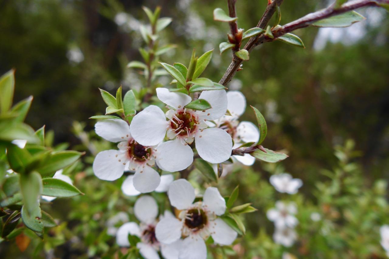 Manuka in flower.