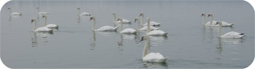 Some swans.'