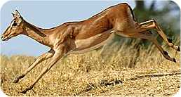 I'm an antelope; I'm the most buoyant of all