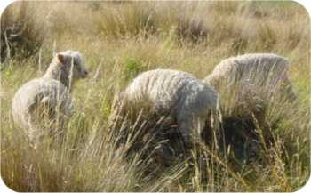 Two of these sheep are lost and the other isn't sure