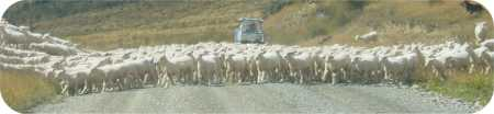 These sheep allow themselves to be herded and treated like sheep