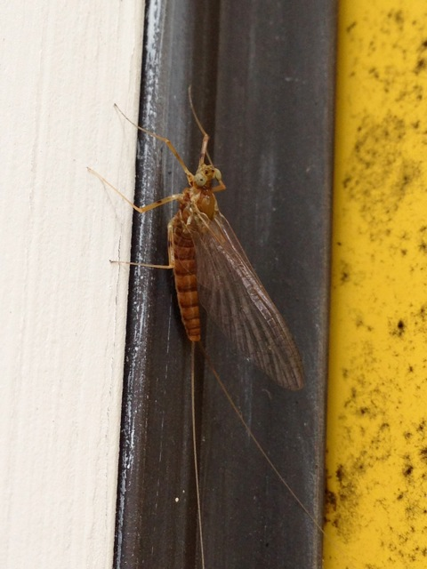 bugs of NY