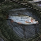 Lots of Small Jungle Perch on Dry Flies - good fun