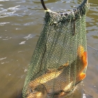 This carp was so big it broke the net!