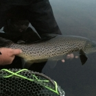 7lb brown on a size14 sedge - quite a battle out into the backing for a long time.
