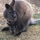 Wallaby down the local boozer