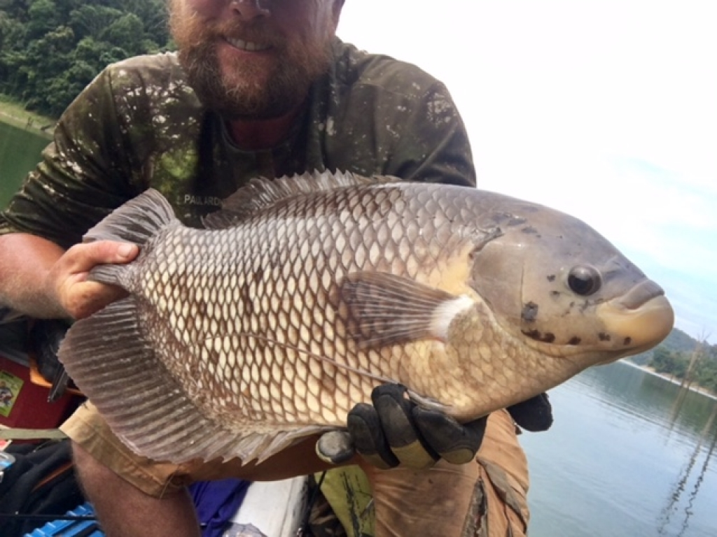 A trophy 4KG Gourami on an ant fall
