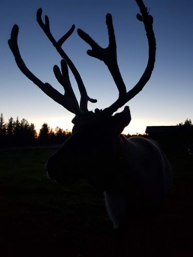 sunset and reindeer