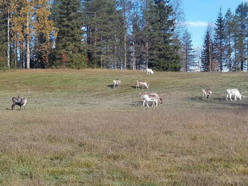 reindeer on the field
