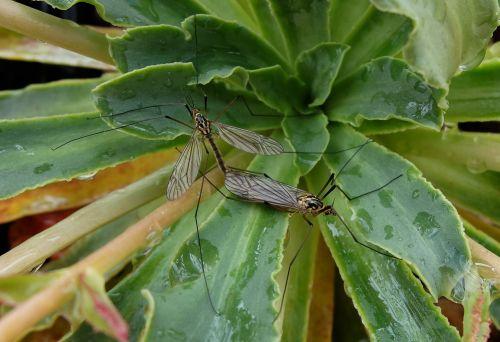 Tipulidae_crane_fly_mating